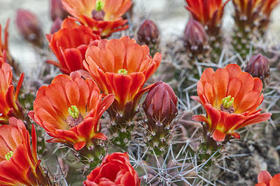 Photograph - Claret Cups In Bloom by Melany Sarafis