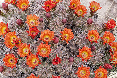 Photograph - Claret Cups In Full Bloom by Melany Sarafis
