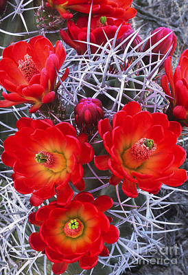 Photograph - Claretcup Cactus In Bloom Wildflowers by Dave Welling