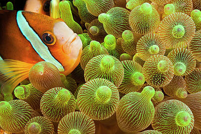 Photograph - Clark S Anemonefish  Amphiprion Clarkii by Dave Fleetham