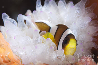 Clarks Anemonefish In White Anemone Art Print by Steve Jones