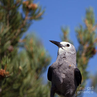 Photograph - Clark's Nutcracker Closeup Portrait by Martha Marks