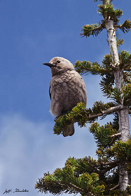 Clark's Nutcracker In A Fir Tree Art Print