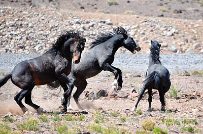 Photograph - Clashing Stallions by Lula Adams