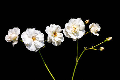 Photograph - Classic And Minimalist White Roses On Black by Matthias Hauser