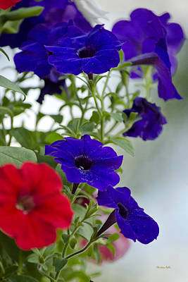 Photograph - Classic Petunia Flowers by Christina Rollo