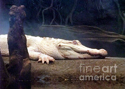 Photograph - Albino Alligator II by Jim Fitzpatrick