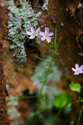 Photograph - Claytonia And Rust by Rick Berk