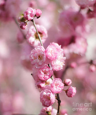 Photograph - Clear Image Plum by Donna Munro