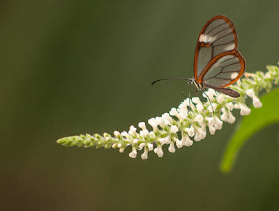 Photograph - Clear Wing Butterfly by Tam Ryan