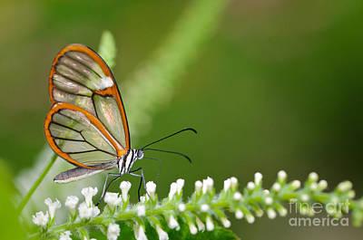 Butterflys Photograph - Clearwing Butterfly Greta Oto by Oscar Gutierrez