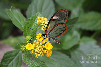 Clearwing Butterfly Art Print