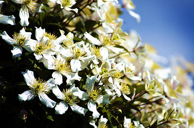 Photograph - Clematis And Sky by David Hawkins-Weeks