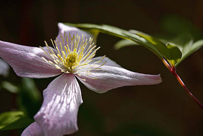 Pink Flower Photograph - Clematis by Bill Wakeley