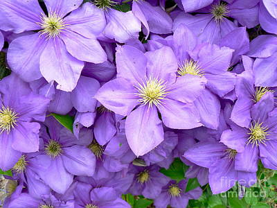 Photograph - Clematis Blossoms by Jean Wright