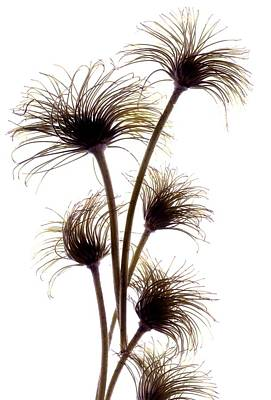 Still Life Digital Art - Clematis Buds by Julia McLemore