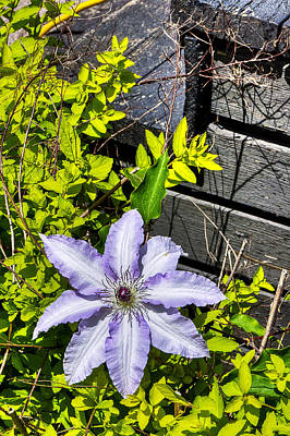 Photograph - Clematis by Celso Bressan