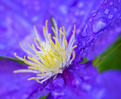 Photograph - Clematis Center by Amy Porter