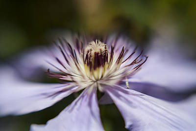 Photograph - Clematis Dream 1 by Scott Campbell