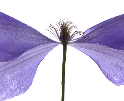 Still Life Digital Art - Clematis Float by Julia McLemore