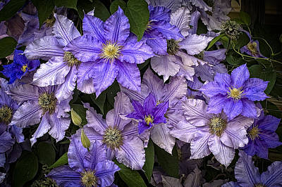 Photograph - Clematis H by Wayne Meyer