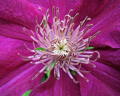Photograph - Clematis Heart Two by Lora Fisher