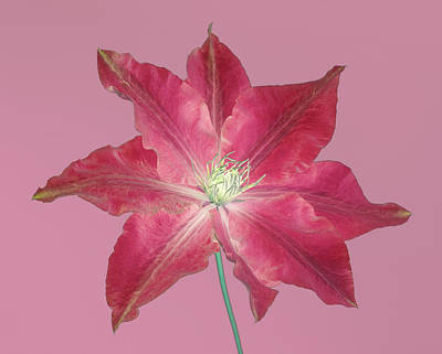 Clematis In Gentle Shades Of Red And Pink. Art Print by Rosemary Calvert