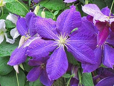 Digital Art - Clematis Iowa City June 2013 by Doug Morgan