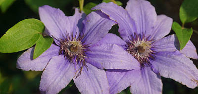 Photograph - Clematis by Leda Robertson