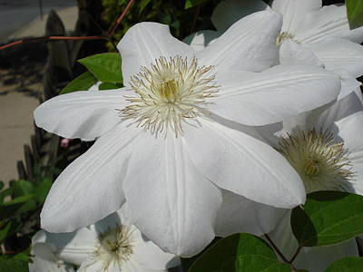 Photograph - Clematis - Madame Le Coultre by June Holwell