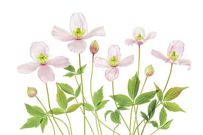 Montana Photograph - Clematis by Mandy Disher