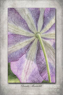 Clematis Miniseelik  Art Print by John Edwards