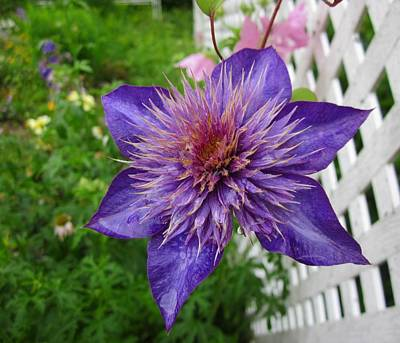Photograph - Clematis by MTBobbins Photography