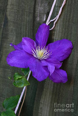 Photograph - Clematis On A String by Jeremy Hayden