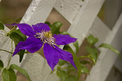 Photograph - Clematis On Lattice by Robert Camp