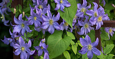 Photograph - Clematis On Trelis by Theo OConnor