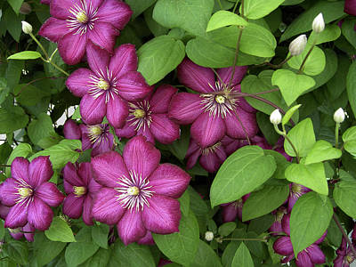 Art Print featuring the photograph Clematis by Penny Lisowski