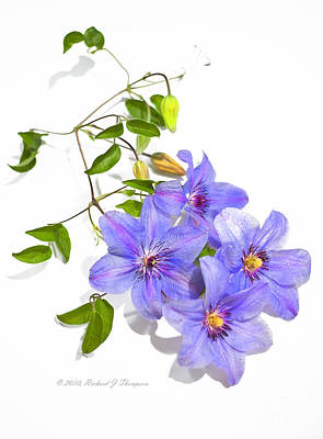 Photograph - Clematis by Richard J Thompson