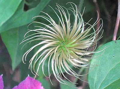 Photograph - Clematis Seedhead by Doug Morgan