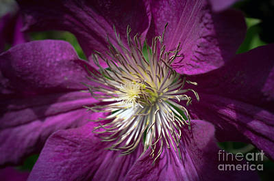 Pasta Al Dente Royalty Free Images - Clematis Royalty-Free Image by Steve Young