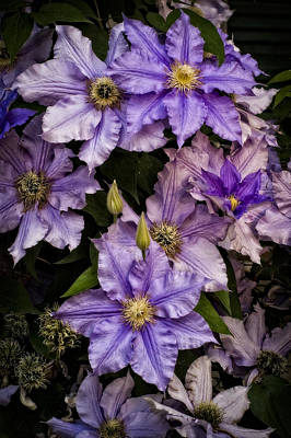 Photograph - Clematis V by Wayne Meyer