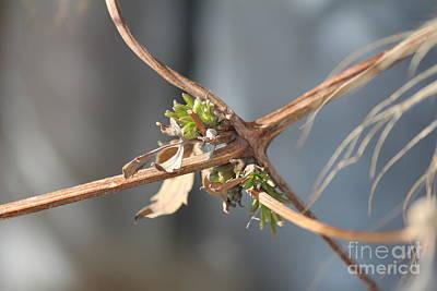 Photograph - Clematis Vine by Ann E Robson