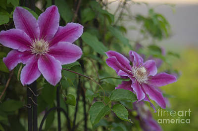 Lavender Clematis 2 Photograph - Clematis X 2 by Ray Konopaske