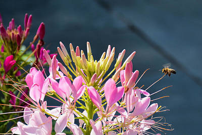 Photograph - Cleome And Friend  by Jeanne May