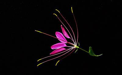Cleome Blossom 2 Print by Douglas Barnett