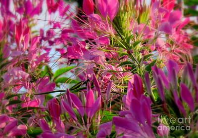 Photograph - Cleome Fiesta by France Laliberte