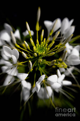 Cleome Photograph - Cleome In Bloom by Venetta Archer