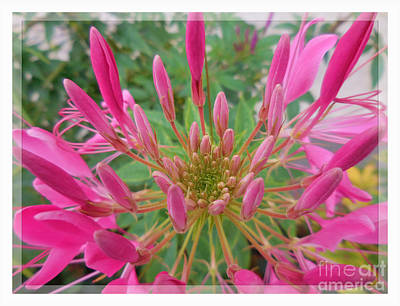 Cleome Photograph - Cleome Spider Flower by Antique Images