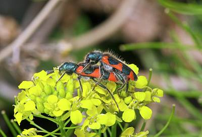 Wild Turkey Photograph - Clerid Beetles Mating On A Flower by Bob Gibbons