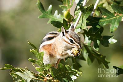 Photograph - Cliff Chipmunk Eats An Acorn by Martha Marks